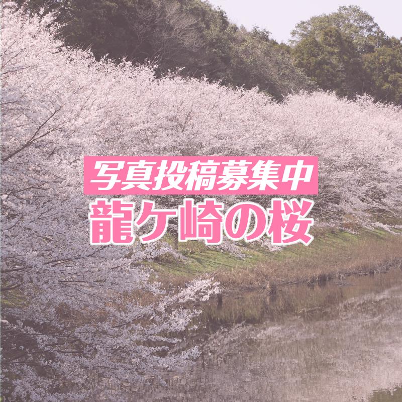写真投稿募集!龍ケ崎の桜